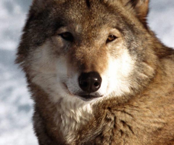 Волк (2)